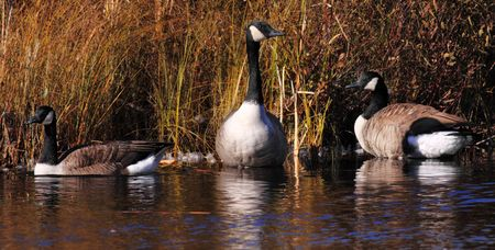Three Canadian geese on a pond with marsh.