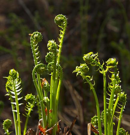 fern fiddlehead: Fiddleheads in their natural environment.