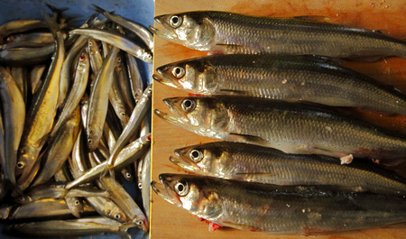 smelt: Pile of uncooked smelt just caught from ice fishing.