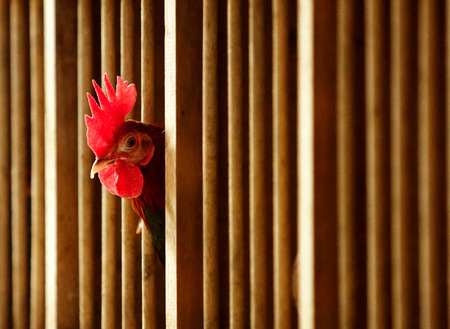 old english: Old English Game rooster peeks through its pen.