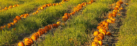 a crop: Rural pumpkin patch field for Halloween or Thanksgiving holiday.