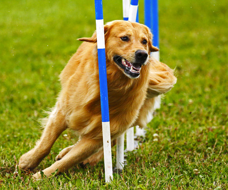 A dog navigates the slalom weave poles at the Agility Association of Canadas 2014 national dog agility championships at Sussex, New Brunswick, Canada.