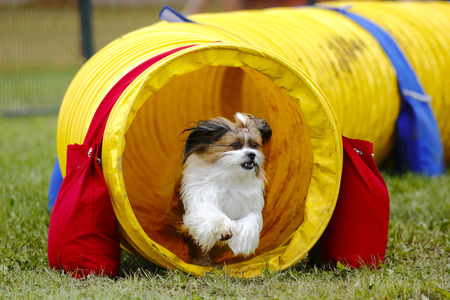 exits: A dog exits a tunnel at the Agility Association of Canadas 2014 national dog agility championships at Sussex, New Brunswick, Canada.