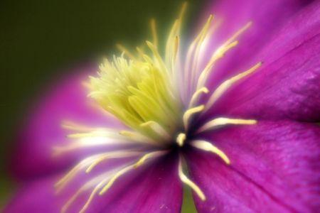 causaba: Clem�tide brillante causados por la condensaci�n en la lente  Foto de archivo