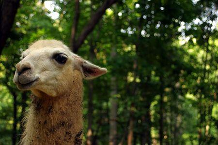 A llamas head.