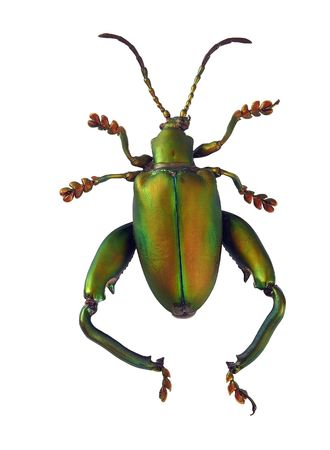 entomology: A matte green beetle isolated on a white background.