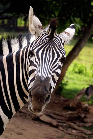 A zebra looking at the camera.