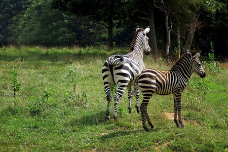 A mother zebra and her foal. Stock Photo - 234793