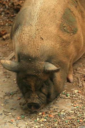 pot bellied: A pot bellied pig eating in the woods.