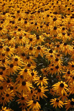 A bunch of black eyed susans in a garden. photo