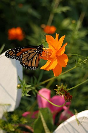 A Monarch butterfly on a cosmos blossom.
