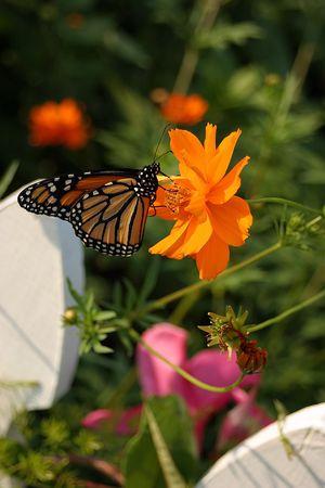 Ein Monarch-Schmetterling auf einer Blüte Kosmos.