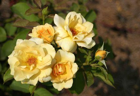 A hybrid tea rose called