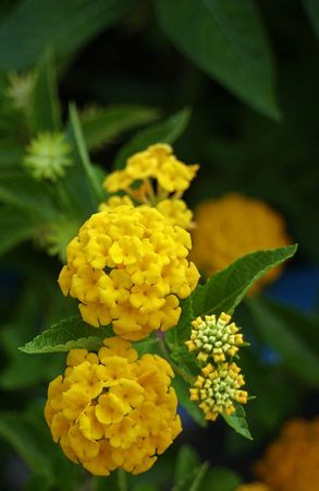 lantana: Pretty yellow lantana blossoms. Stock Photo