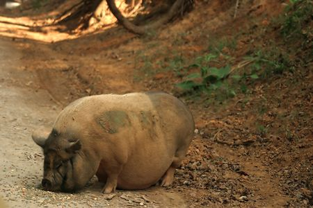pot bellied: A pot bellied pig on the side of a road.