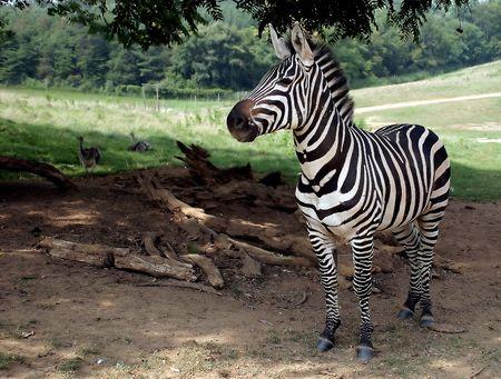 A zebra portrait. Stock Photo - 237510