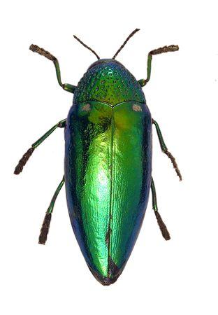 exoskeleton: A shiny green beetle isolated on a white background.
