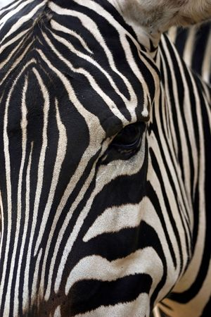 An abstract look at a zebra. Stock Photo - 237474