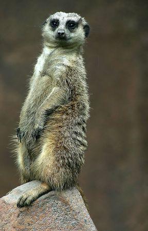 A meerkat standing on a rock. photo