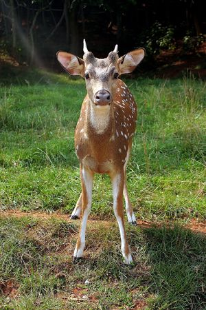 deer  spot: A young male fawn looking at the camera.