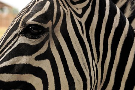 An abstract shot of a zebra. Stock Photo - 237434