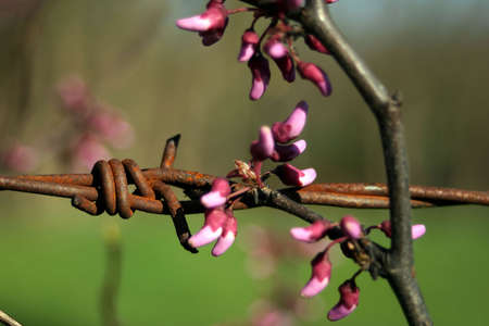 Flower buds entwined on a piece of barbed wire. photo