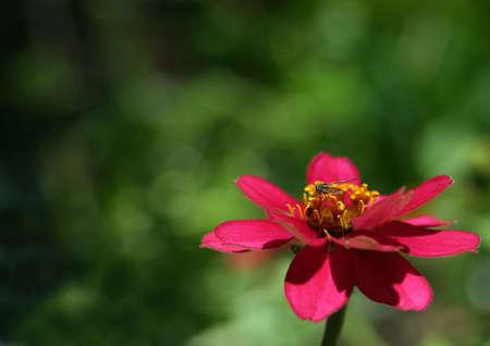 A bee on a zinnia (z. angustifolia) blossom. Фото со стока - 390776