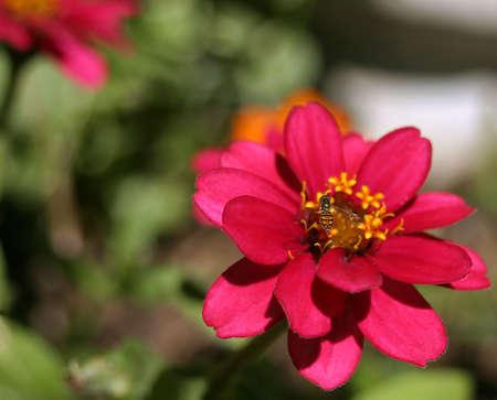 A bee on a pinwheel zinnia (z. angustifolia). Horizontal