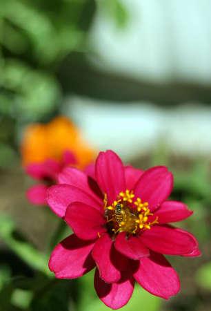 A bee on a pinwheel zinnia (z. angustifolia). Vertical