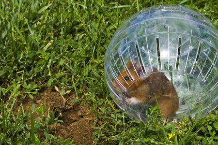 hamster: Rodent in a hamster ball wanting to go down gopher hole, so close, but so far away