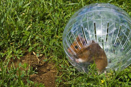 roedor: Roedor en una bola de h�mster querer ir abajo gopher agujero, tan cerca pero tan lejos