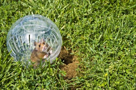 furry stuff: Rodent in a hamster ball wanting to go down gopher hole, so close, but so far away