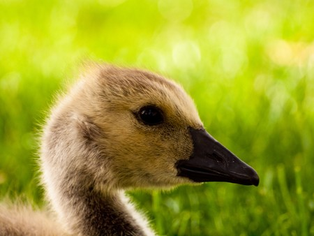 gosling: Fuzzly Little Gosling Stock Photo