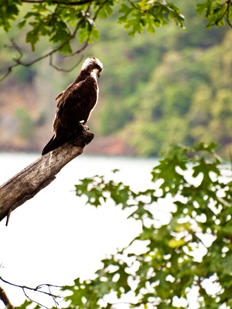An osprey scouting the lake for fish from a high tree limb