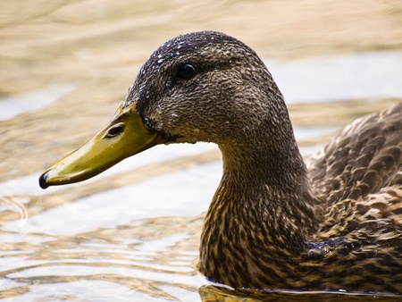 A profile shot of an American Black Duck with water droplets from splashing about
