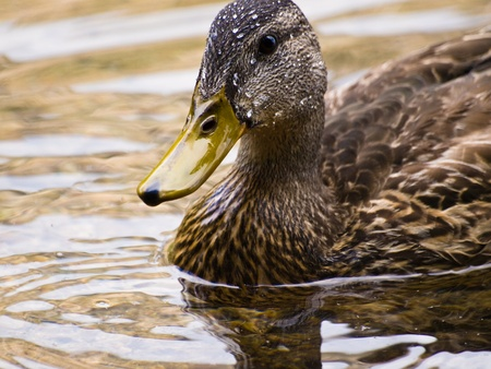 A shot of an American Black Duck with water droplets from bathing and splashing about Фото со стока