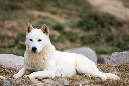 Portrait of a Korean Jindo dog. The Jindo dog has been officially designated Korea's Natural Memorial No. 59. It is brave, intelligent, and fiercely loyal to its master.