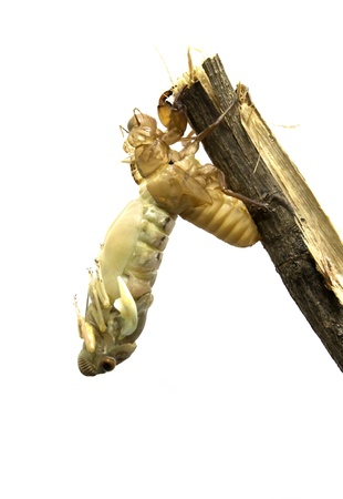 noise isolation: Cicada metamorphosis (Latin Cicadidae). Last molt - the transformation into an adult insect