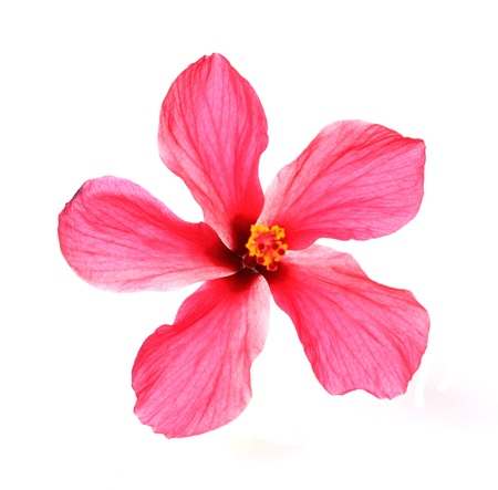 Blossoming red flower of treelike Hibiscus with two petals on pestle, stamens and leaves, isolated on white photo
