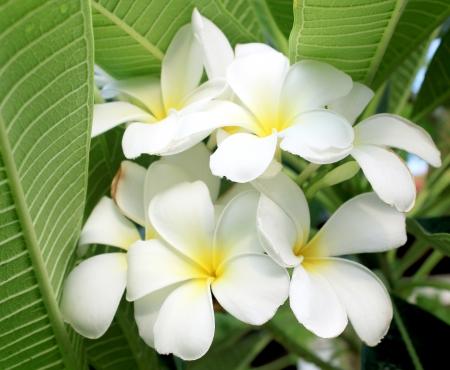 Glorious frangipani  plumeria , in natural light  photo