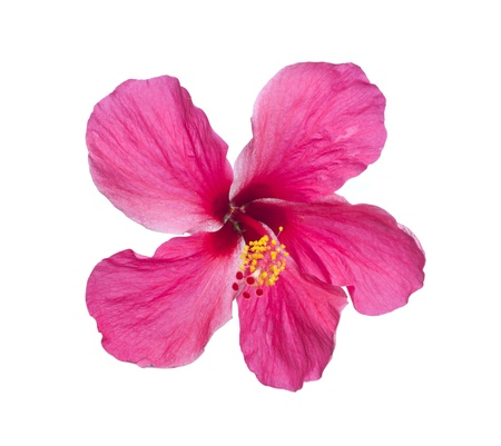 a red hibiscus flower isolated on white background photo