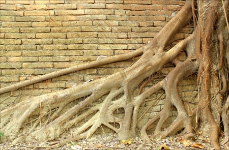 brick wall with ancient root tree Stock Photo - 20988192
