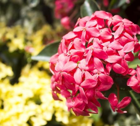 geranium color: Jungle geranium  Ixora coccinea   Close-up  Red color