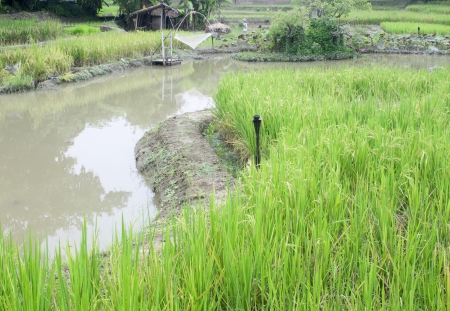 rice paddy and river photo