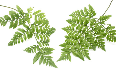 green leaves of fern isolated on white photo