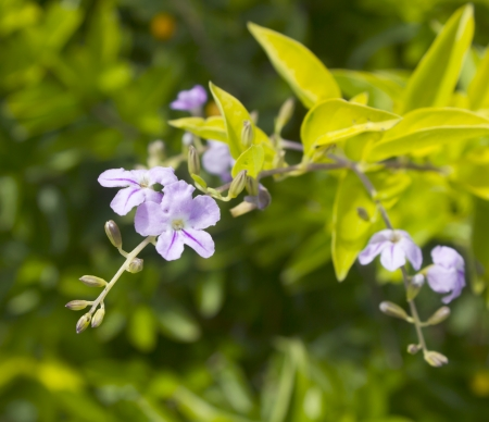 seed bed: closeup of beautiful blossoming violet flowers, duranta erecta