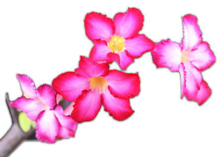 Desert Rose Impala Lily Mock Azalea on white background isolated photo
