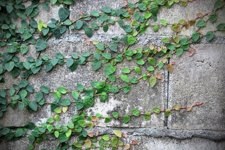 ivy leaves on wall background for wallpaper photo