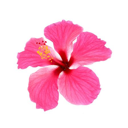 fiori di ibisco: Hibiscus rosa isolato su sfondo bianco
