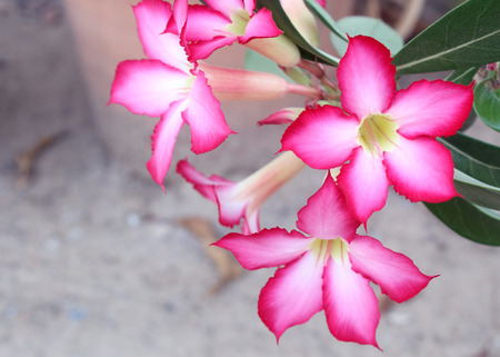 obesum: Red Desert Flower, adenium obesum. Stock Photo